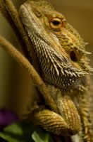 Bearded Dragon Stock 2 by FairieGoodMother