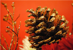 Pinecone by theshipperoflove