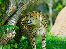 cheetah300 by redbeard31