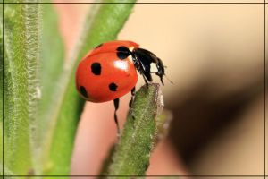 coccinella by ELVAge