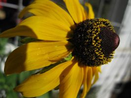 Sunflower by OneofakindKnight