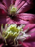 Clematis x 2 by PhilWinterbourne