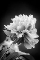 Dramatic Black and White Flower by technogeek11