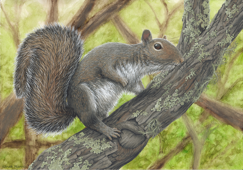Gray Squirrel by Koeskull