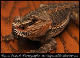 bearded dragon 2 by PascalMartel