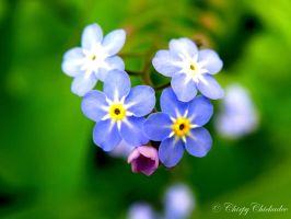 Forget Me Not II by ChirpyChickadee