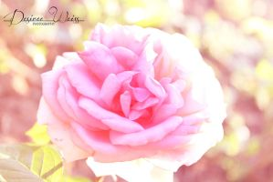 Sweet Rose by DYWPhotography