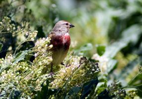 Linnet by cyberfish128