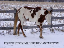 Paint Horse 61 by EquineStockImagery