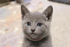 Russian Blue Kitten 02 by Faeriegem