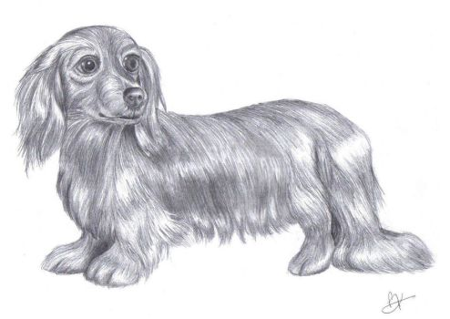 Daschund by aurorafeather