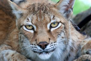 Animals - Eurasian Lynx 1 by MoonsongStock