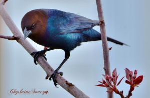 Brown-headed Cowbird by gigi50