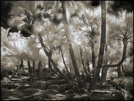 Palm Trees III infrared... by MichiLauke