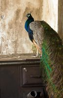Peacock by abey79