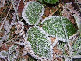 Frosty Leaves by bagnaj97