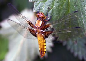 Broad bodied chaser/female by karliosi