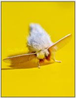 Brown-Tail Moth by SianMurrell