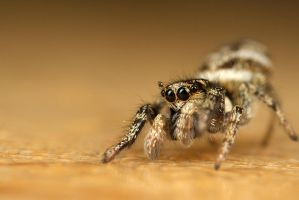 Cute Jumping Spider 3 by Alliec