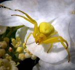 Yellow Crab Spider by Lupsiberg