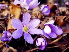 Hepatica by rosaarvensis