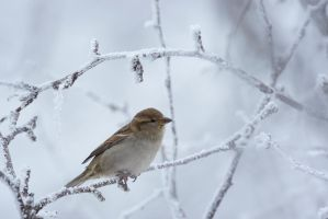 House Sparrow in Hoar Frost by JestePhotography
