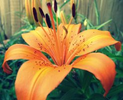 tiger lily by fluffylink