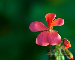 Garden Beauty by FireflyPhotosAust