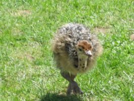 Baby Ostrich by Mecarion