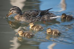 Mama duck and her babies by Wandering-Soul7996