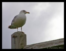 Noble Seagull One by Geayzus
