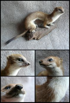 Stoat Mount FOR SALE by CabinetCuriosities