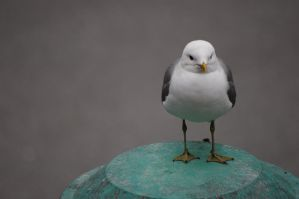 Larus canus by newdawn84
