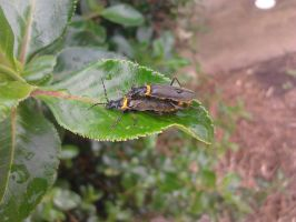 Plague Soldier Beetle by Drhoz