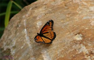 Viceroy On A Rock by panda69680102