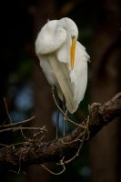 Egret Perched by bovey-photo