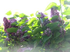 Purple Blossoms 06 by LithiumStock