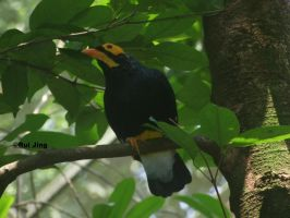 Yellow faced Myna by GreenNexus51