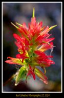 Indian Paintbrush by KSPhotographic