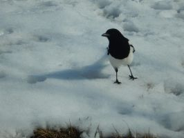 Snow Walking Bird by Sanluris
