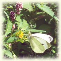 White Butterfly by MuseSusan