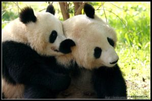 Panda love by AF--Photography