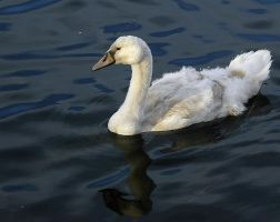 Cygnet - The Ugly Duckling by tupilak