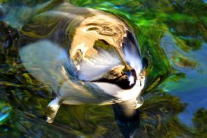 Pacific White Sided Dolphin by Hysazu