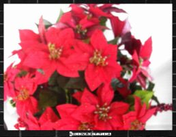 .Poinsettia. by BabyLinux