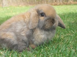 Holland Lop by momodory09