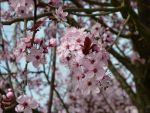 Cherry Blossoms 3 by melissaraevyn