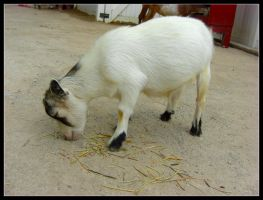 Tulsa Zoo Baby Goat by laurensconcepts