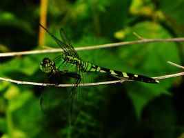 Green Dragonfly by Stone1980
