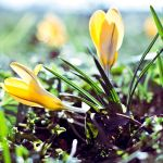 11.52 - Crocus by head-in-the-cloud